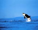 orca4